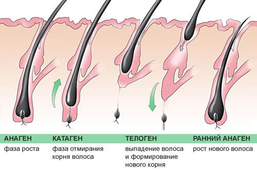 Цикл жизни волоска